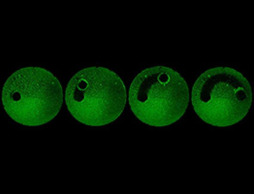 Time-lapse image shows microrobots clear a glass plate of a biofilm